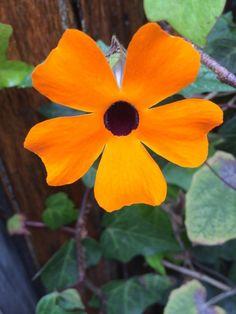 Ojos de Susana flowers