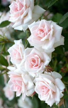 Beautiful Flowers Wallpapers, Beautiful Rose Flowers, Pretty Roses, Amazing Flowers, Pretty Flowers, White Roses, Pink Roses, Pink Flowers, Pale Pink