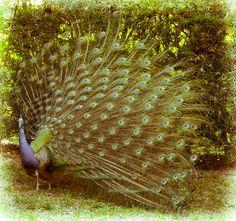 Weeki Wachee Peacock Aged by Dretography.deviantart.com on @deviantART