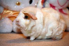 Marshmello the guinea pig
