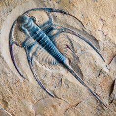 This Bristolia bristolensis (sagittal length: 44mm; total length: 83mm) is one of the most complete and well preserved ever found. It comes from the Lower Cambrian Pioche Formation of western Nevada.