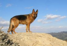 German Shepherd Breed Info – One of the Most Versatile and Smartest Dog Breeds
