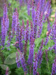 Buy sage (syn. Salvia May Night) Salvia × sylvestris 'Mainacht': Delivery by Crocus