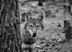 Scotland Road Trip - Highlands Wildlife Park, European Wolf   Flickr - Photo Sharing!
