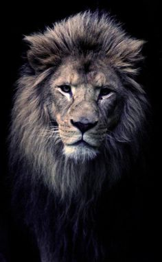 I love the look of a male lion. He is so amazing looking.