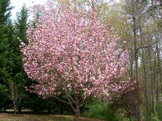 Kwansan Cherry tree
