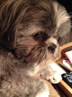 Love this face!!! All Shih Tzu's have this look!