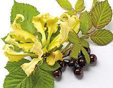 """""""Hedelmiä & sitrusta"""" Brighter World Ylang ylang & mustaherukka Lumoudu makean ylang ylangin pirteästä kukkaistuoksusta - ihastuttava tuoksutervehdys eksoottisilta Komoreilta."""