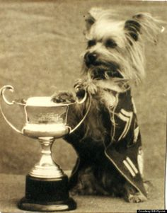 YANK Down Under Magazine selected Smoky as the best Mascot in the Southwest Pacific Theater of Operations in July 1944. Her silver trophy is in her display case at the AKC Museum of the Dog in St. Louis. #yorkshireterrier