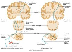 Somatosensory Pathways | Figure 1: Ascending Pathways to the Somatosensory Cortex http ...