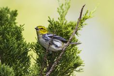 Nature: Warblers make a second pass through Texas in fall