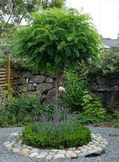 Beeteinfassung mit Feldstei… Ball acacia planted with lavender and boxwood. Beeteinfassung with field stones. Garden Trees, Garden Paths, Trees To Plant, Back Gardens, Small Gardens, Outdoor Gardens, Amazing Gardens, Beautiful Gardens, Contemporary Garden