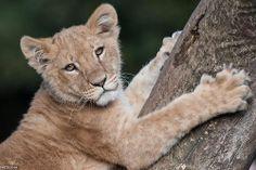 Cute Lion by Peter Hausner Hansen