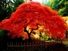 Cheap bonsai red, Buy Quality bonsai seeds directly from China bonsai tree seeds Suppliers: 20 PCs. the American Red Maple Tree Seeds Bonsai For Garden Planting Rare Maple home planting seeds Trees And Shrubs, Trees To Plant, Tree Planting, Planting Seeds, Amur Maple, Landscaping Trees, Outdoor Landscaping, Acer Palmatum, Tree Seeds