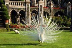 Isole Borromee sul Lago Maggiore - Un meraviglioso pavone bianco a Isola Bella