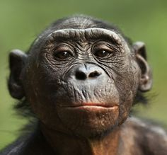 Female bonobo.