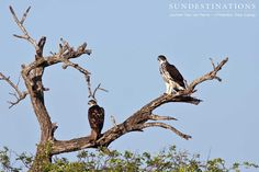 African hawk-eagles : This eagle is a large bird of prey which builds a huge stick nest in the fork a tree. They prey on large birds such as guinea fowl and can carry prey of up to 4kgs. They have been known to hang around at waterholes waiting for birds to come and drink. #eagles #birdofprey #hawks #hawkeagles #birds #krugereagles #birdingsafari