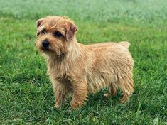 Norfolk Terrier. I adore these little dogs!