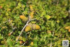 Plantas. Foto de coscoja. Quercus coccifera.