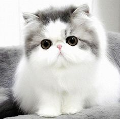 Persian Cat--> I so want one!