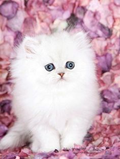 Silver Chinchilla Teacup Persian Kitten  If cotton candy was an animal