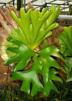 Staghorn Fern [Platycerium species] from Colombia