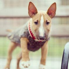 Tusker, Miniature Bull Terrier, Washington Square Park