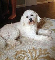 Albert is an adoptable Bichon Frise Dog in Troy, VA Albert is doing very well in his foster home. He gets along great with the kids, dogs, and cats ... ...Read more about me on @petfinder.com