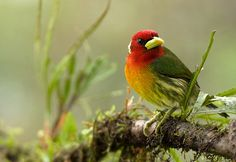 Red-headed Barbet (by amkhosla)