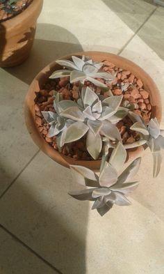 Planta Fantasma - suculenta