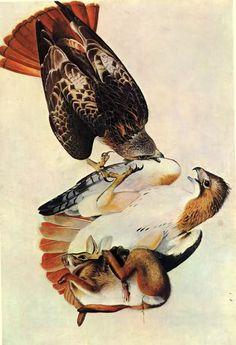 [][][] John James Audubon 1785-1851, Red-tailed Hawk,