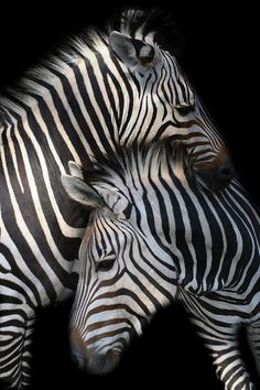 Zebras by Matthias Beckmann on 500px