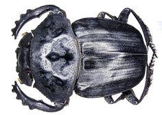 Family: Scarabaeidae Size: 28-40 mm Distribution: South Africa, Namibia Location: Namibia, Otjiwarongo, Waterberg leg det. U.Schmidt, 1994 Photo: U.Schmidt, 2006