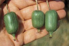 Issai Hardy Kiwi - Additional Berry Plants - Stark Bros