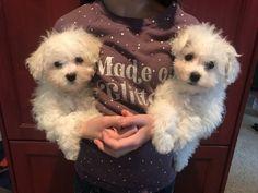 SILVER PAW CAVACHONS | Quality Cavachon Puppies Havanese Puppies For Sale, Cavachon Puppies, Dogs, Silver, Animals, Animales, Animaux, Doggies, Animal