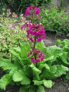Add height to your garden with the showy candelabra primrose. #gardening (Photo by Sandra Schumacher, Evergreen Arboretum & Gardens)