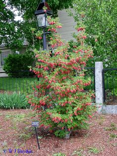 Dogwood Bush Diseases