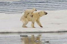 白熊 赤ちゃん - Google 検索