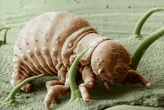 This image, snapped by a low temperature scanning electron microscope (LTSEM), shows a frozen first instar nymph of the Leptinotarsa decemlineata—also known as the Colorado Potato Beetle—magnified 100 times. Scanning Electron Microscope, Microscopic Photography, Micro Photography, Microscopic Images, Fotografia Macro, Macro And Micro, Things Under A Microscope, Tiny World, Bugs And Insects