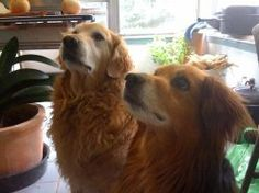 Are Golden Retrievers Better Than Mixed Breeds? Or Visa versa?   My dog Ulysses is a pure breed Golden Retriever. Mukunda is a mix between a Golden...