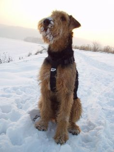 Airedale Terrier having fun in the ❄SNOW❄