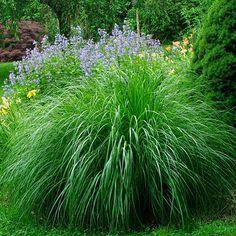 Miscanthus sinensis 'Morning Light', Morning Light Maiden Grass, sun