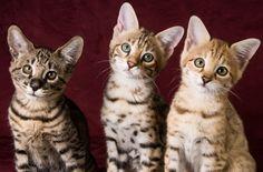 The Savannah Kittens