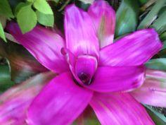 Bromeliad neoregelia tatiana