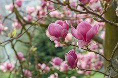 Image result for tulip magnolia