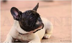 Bouledogue Francais, French Bulldog Puppy