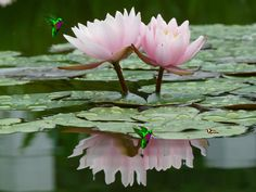 The Lotus flower is linked to many beliefs around the world. Hindus, Buddhists and ancient Egyptions know the Lotus as a sacred flower. Water Flowers, Water Plants, Flowers Nature, Love Flowers, Beautiful Flowers, Beautiful Things, Beautiful Pictures, Beauty Water, Language Of Flowers