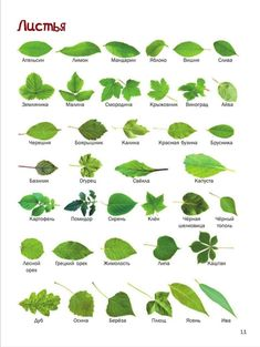 Russian Language Lessons, Russian Language Learning, English Lessons For Kids, Learn Russian, Preschool Learning Activities, Elementary Art, Herbalism, Plant Leaves, Flora