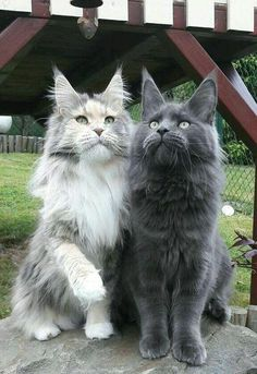 Two Beautiful Maine Coon Cats Are you looking to get a new cat soon? You may want to consider a purebred cat like the Maine Coon cat breed. Pretty Cats, Beautiful Cats, Animals Beautiful, Beautiful Babies, Animals And Pets, Funny Animals, Cute Animals, Baby Animals, Animals Images