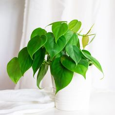 This easy to grow philodendron (Philodendron hederaceum) is perfect anywhere. Its heart-shaped leaves create a dense canopy in a pot, or insert a wooden pole to create a stunning climber. Keep it in part-shade and out of direct sunlight. Ivy Plants, Hardy Plants, Cool Plants, Philodendron Scandens, Plante Zz, Chenille Plant, Best Indoor Hanging Plants, Arrowhead Plant, Exotic